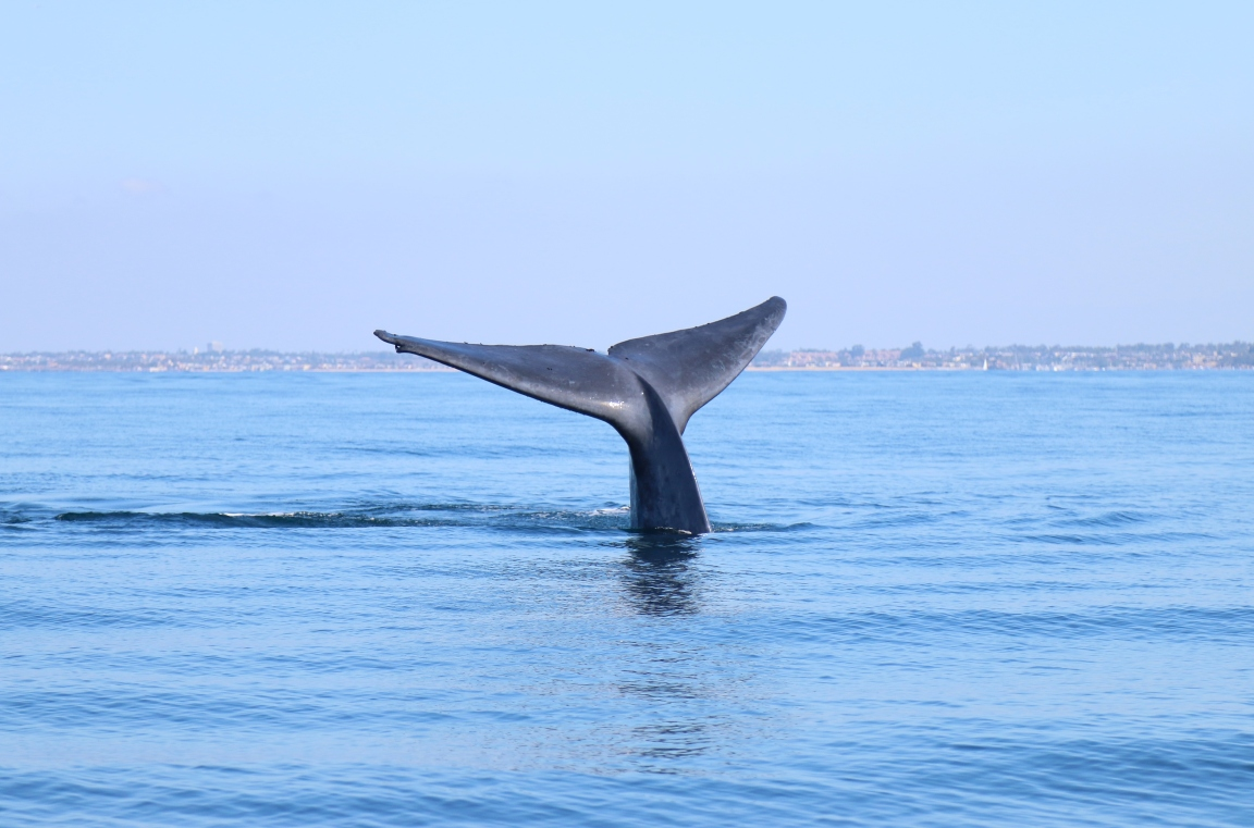 bluewhalefronttail