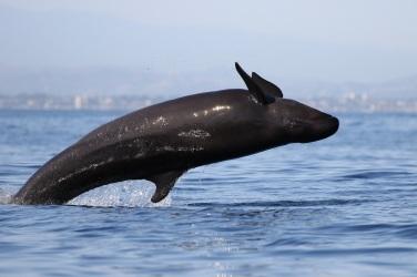 false-killer-whale-newport