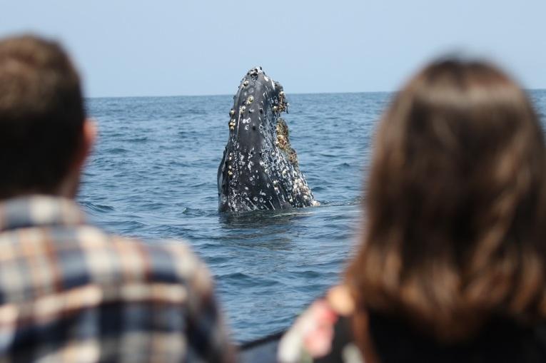 humpback-newport-beach-spyhop