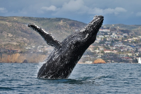resize-newport-whale